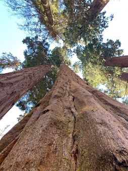 Wielkie drzewa w parku narodowym sekwoja