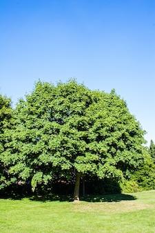 Wielkie drzewo o gęstych gałęziach i liściach oraz bezchmurnym niebie