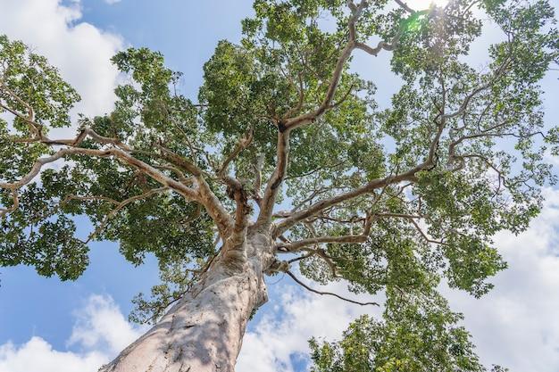 Wielkie drzewo tropikalne na tle nieba, widok z dołu. nazwa naukowa dipterocarpus alatus lub drzewo yang na yai. wyspa koh phangan, tajlandia