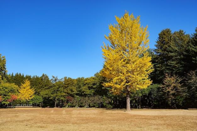 Wielkie drzewo w parku z żółtymi liśćminatura tłonami island korea