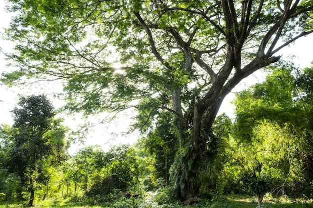 Wielkie drzewo z dużą ilością otaczającej go roślinności?
