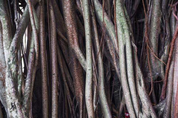 Wielkie korzenie drzew jako drewniane teksturowanej tło. organiczne tło. makro.