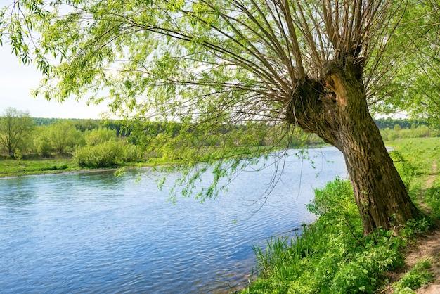 Wielkie stare drzewo na brzegu rzeki. letni dzień z jasnym błękitnym niebem