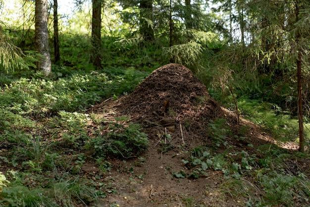 Wielkie wzgórze mrówek w lesie karelii w rosji. zdjęcie wysokiej jakości