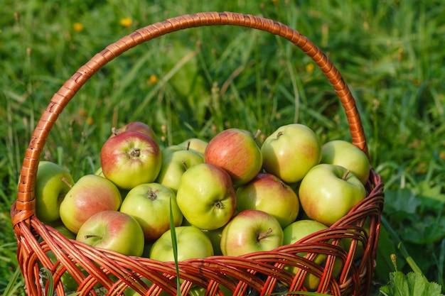 Wielkie zielone dojrzałe jabłka w wiklinowym koszu na koniec lata w słońcu w zielonej trawie w ogrodzie