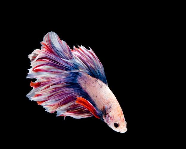 Wielobarwna betta ryba, bojownik na czarnym tle