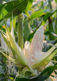 Wielobarwna słodka kukurydza