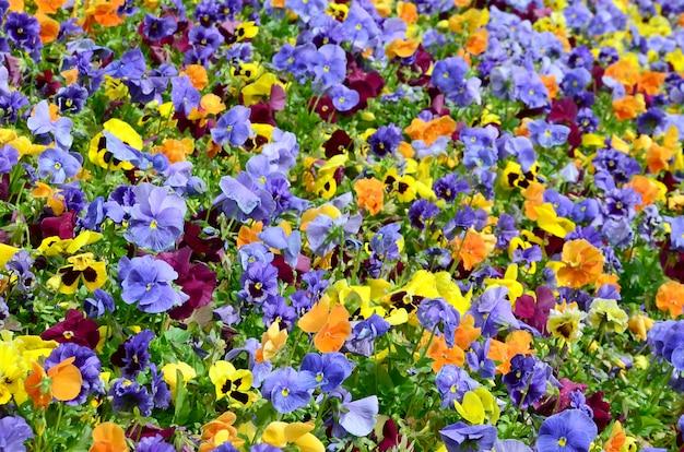 Wielobarwne kwiaty bratek lub bratki z bliska