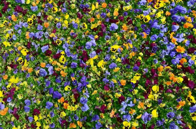Wielobarwne kwiaty bratek lub bratki zamknąć jako tło lub karty