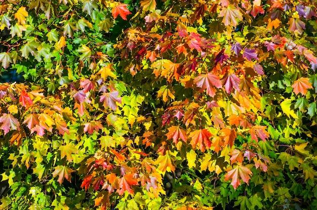 Wielobarwne liście klonu jesienią na koronie drzewa.