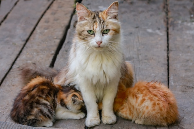 Wielobarwny kot karmi dwa kocięta i kota siedzącego