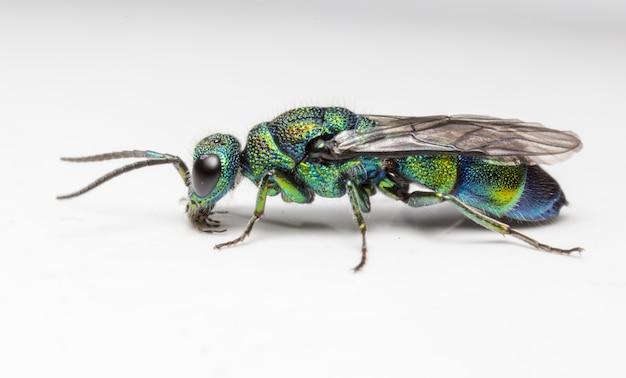 Wielobarwny owad na białym tle z bliska