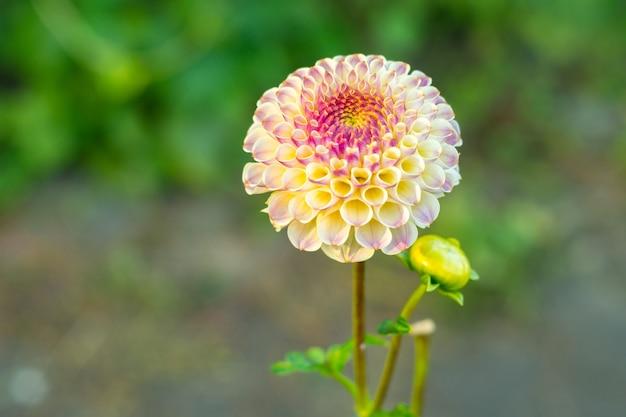 Wielobarwny żółty różowy kwiat dalii na krzaku, zbliżenie