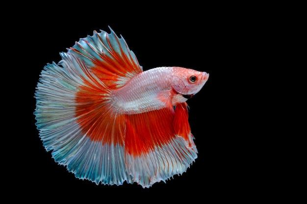 Wielokolorowa bojownik syjamski (rosetail) (halfmoon), walcząca ryba, betta splendens