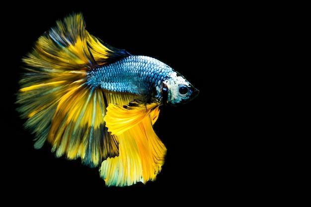 Wielokolorowa ryba walcząca