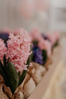Wielokolorowe różowe fioletowe lawendowe wiosenne kwiaty w papierowych doniczkach na stole w pudełku prezentowym