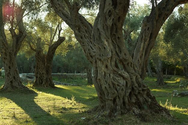 Wieloletnie drzewo oliwne w gaju oliwnym, oświetlone zachodzącym słońcem.