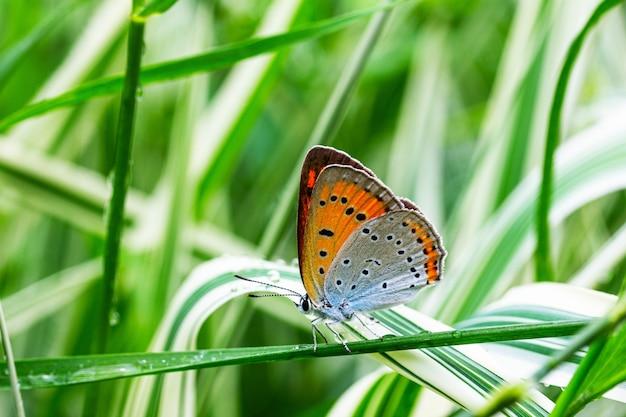 Wielooki niesparowany motyl (lycaena dispar) na zielonej i białej trawie falaris w ogrodzie w letni dzień po deszczu, widok z boku