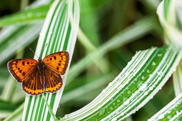 Wielooki niesparowany motyl (lycaena dispar) na zielonej trawie falaris w ogrodzie w letni dzień po deszczu, widok z góry