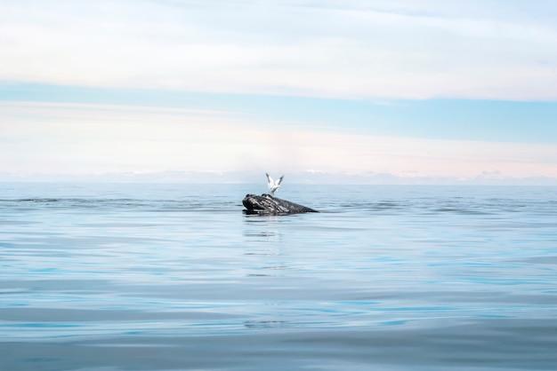 Wieloryb i seagull w spokojnym morzu w puerto piramides, argentyna