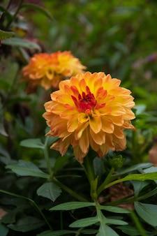 Wielowarstwowe płatki kwiat aster