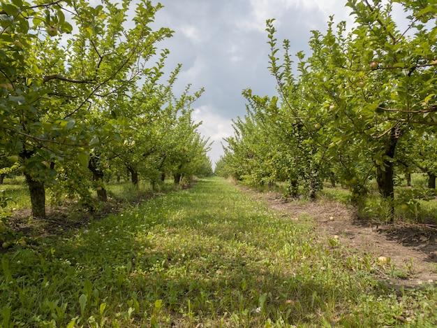 Wiersz jabłoni z owocami w ogrodzie rolniczym w letni dzień na tle nieba. uprawiaj własne