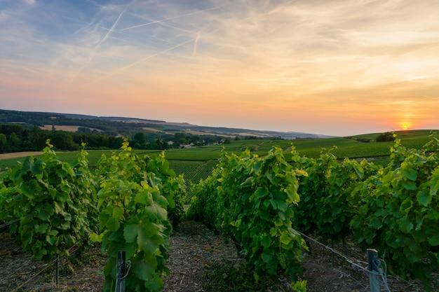 Wiersz winorośli w winnicach szampana w wiosce montagne de reims