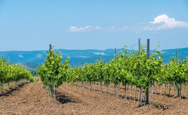 Wiersze młodych winnic w słoneczny wiosenny dzień. młoda plantacja zadbanej winnicy na początku kwitnienia