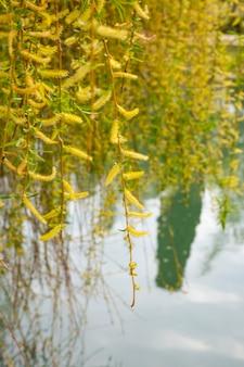 Wierzba nad wodą z odbiciem. kwitnąca wierzba wczesną wiosną. żółte pręciki i ty na gałęziach.