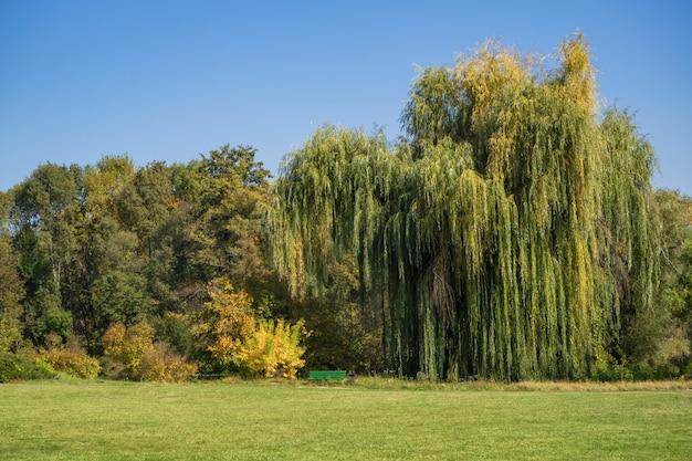 Wierzba płacząca na polanie w jesiennym parku.