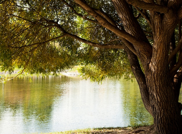 Wierzba płacząca nad jeziorem