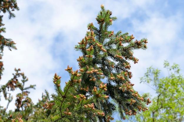 Wierzchołek młodego drzewa świerkowego z nowymi szyszkami w sezonie wiosennym, zbliżenie na tle błękitnego nieba