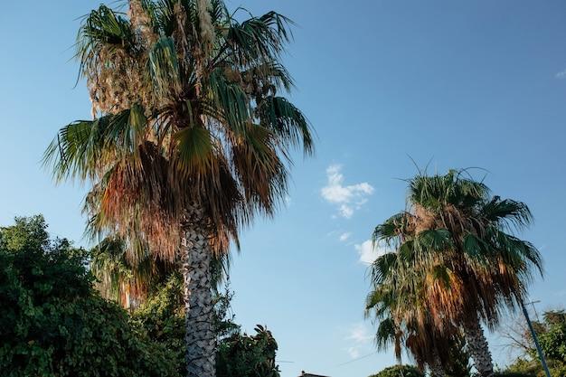 Wierzchołek palmy jest ustawiony ukośnie na tle błękitnego nieba