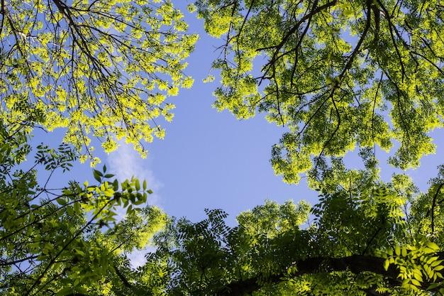 Wierzchołek zielonych drzew widziany od dołu
