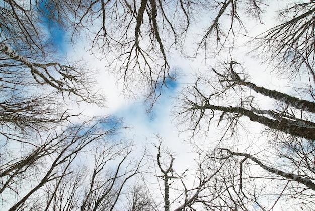 Wierzchołek zimowych drzew z niebieskim niebem i chmurami