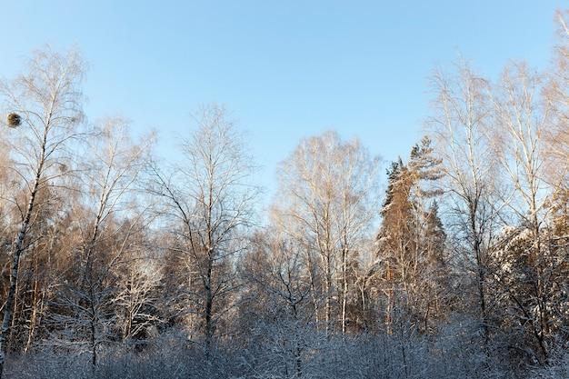 Wierzchołki drzew w sezonie zimowym w lesie przy słonecznej pogodzie