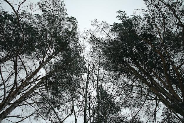 Wierzchołki drzew w zimowym lesie na tle nieba