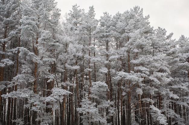 Wierzchołki sosen pokryte śniegiem
