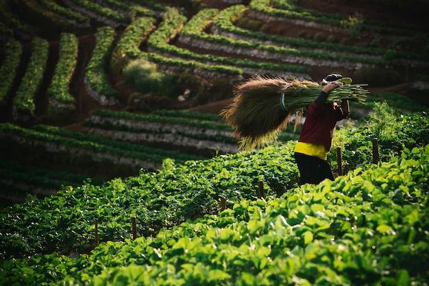 Wieśniak inchiangmai na północy tajlandii pracujący na farmie truskawek