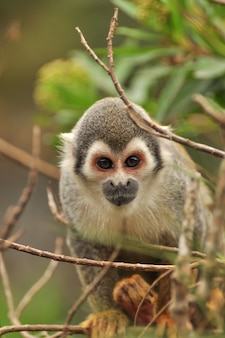 Wiewiórcza małpa