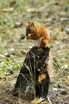 Wiewiórczy futerkowy śmieszny zwierzę domowe jesieni las na tle