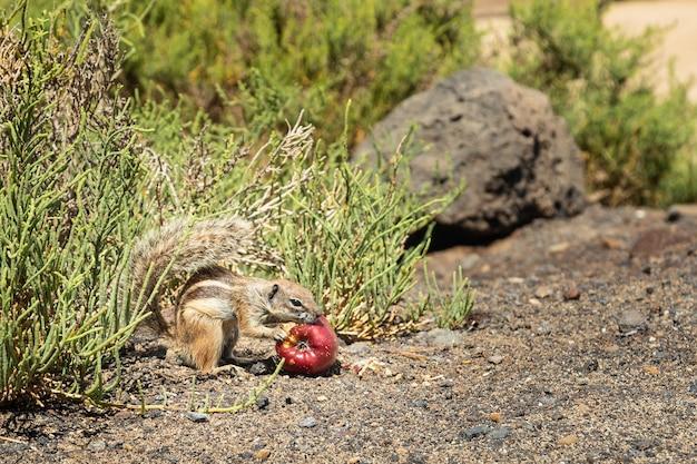 Wiewiórczy łasowania jabłko w lanzarote, wyspy kanaryjska, hiszpania. zabawny