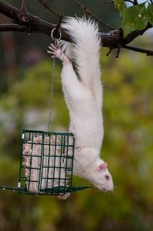 Wiewiórka albinos zwisająca z drzewa, jedząca łój z karmnika dla ptaków