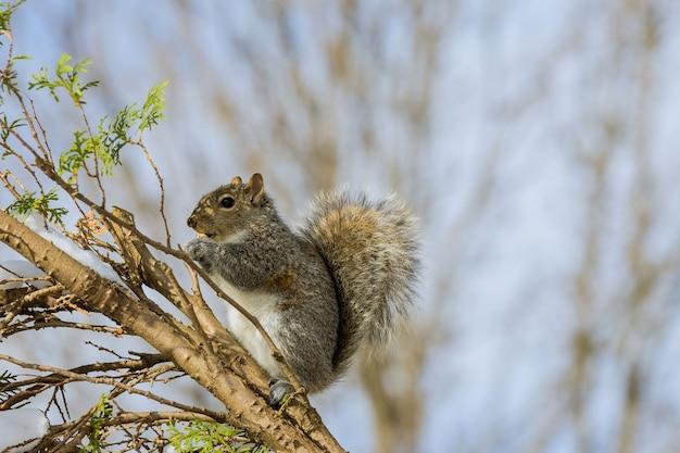 Wiewiórka amerykańska zimą zjada orzech, karmiąc się orzechami włoskimi
