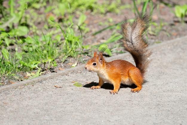 Wiewiórka czerwona siedzi na drodze w parku