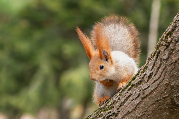 Wiewiórka czerwona siedzi na drzewie i spogląda w dół. sciurus vulgaris.