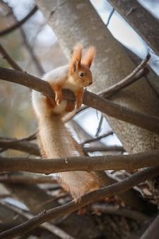 Wiewiórka czerwona siedzi na gałęzi w lesie