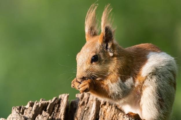 Wiewiórka czerwona z bliska. sciurus vulgaris, na wolności.