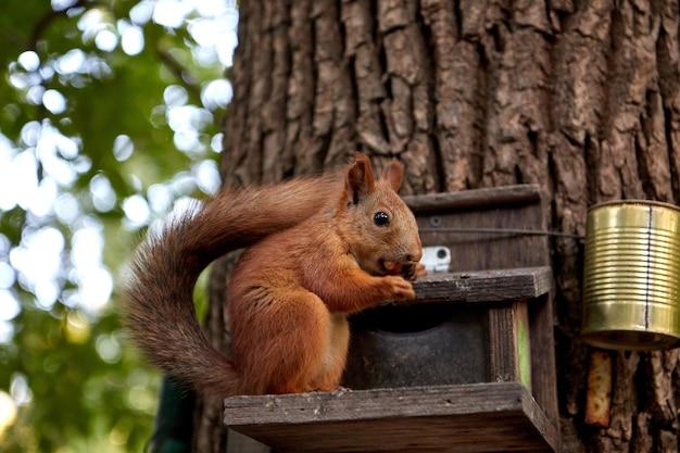 Wiewiórka je z karmnika w lesie na pniu drzewa, puszysty ogon, jesień, opadłe liście