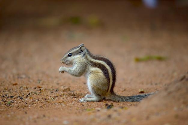 Wiewiórka lub gryzoń lub znany również jako pręgowiec stojący na skale